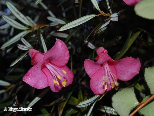 Ramilla de <i>Philesia magellanica</i> (Coicopiu) captada desde abajo, donde se evidencian sus hojas oblongas y dos flores con sus tépalos espatulados. Ejemplar creciendo en el Parque Nacional Alerce Andino, Región de Los Lagos.