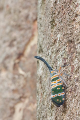 Pyrops spinolae IMG_9393 copy (Kurt (orionmystery.blogspot.com)) Tags: bug lantern lanternbug lanternfly pyrops orionmystery upclosewithnature pyropsspinolae
