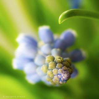 bokeh hyacinth