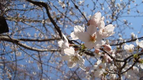 2011/04 平野神社 #04