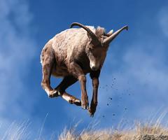 Jump For Joy ... It's Spring (wyojones) Tags: grass sheep wildlife horns canyon valley wyoming np cody mammals wapiti southfork mountainsheep oviscanadensis shoshoneriver wyojones southforkoftheshoshoneriver