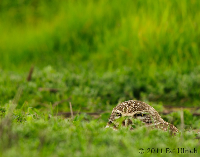 Burrowed burrowing owl - Pat Ulrich Wildlife Photography