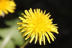 Dandilion (jonasvl) Tags: canon natuur jonas lente geel bloemen 2011 sigma18200mm vanlaere canoneos500d jonasvl jonasvanlaere