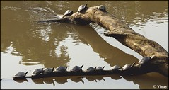 Sun Bathing (Vinay Narayana Swamy) Tags: turtle sony alpha knp kaziranga a700 kaziranganationalpark sonyalpha 70400 alpha700 sonya700 sonyalpha700 sal70400g assamroofedturtle sony70400g assamwildlife pangshurasylhetensis