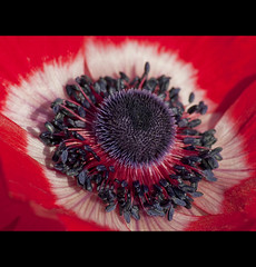 Centre Of Attention !! (Osgoldcross Photography) Tags: red white black flower macro closeup petals nikon raw noir close bright centre vivid poppy grains bud pollen circular stemen nikond5000 stepil