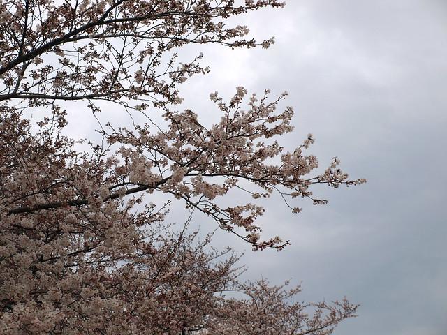 曇り空と桜のフリー写真素材