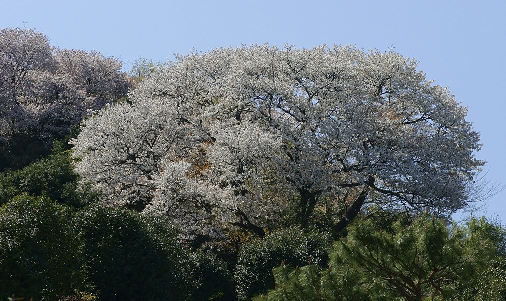 Cherry Blossom 131
