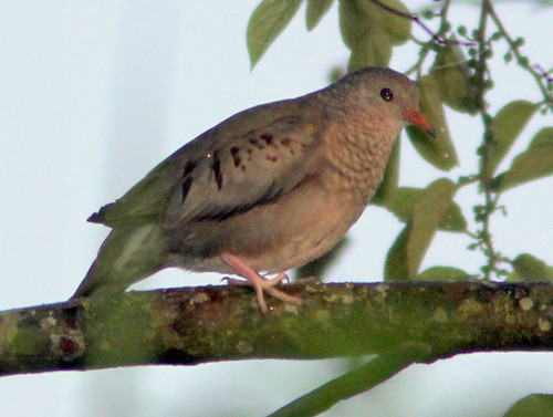 Common Ground-Dove 2-20110413