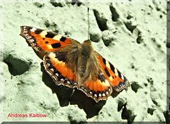 Kleiner Fuchs Aglais urticae (Vogelfoto69) Tags: butterfly germany deutschland images andreas getty nrw kleiner fuchs schmetterling aglais urticae naturfoto kalbow