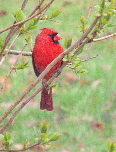 Cardinal Surveying His Domain
