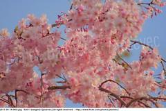 2011-04-14 0455 Sakura, Prunus serrulata, the weeping cherry tree blossoms (Badger 23 / jezevec) Tags: park pink flowers flower tree cherry spring blossom indianapolis blossoms indiana anh bloom  flowering sakura blooms holliday weeping hoa blooming prunus cerezo weepingcherry    kirschblte   jezevec cvijet serrulata shidarezakura prunusserrulata o krsbr   cseresznyevirg japanskt  hoaanho kirsuberjatr badger23 namumulaklak  trenjin    seresang trenjincvijet