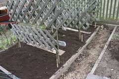 pea planting 043