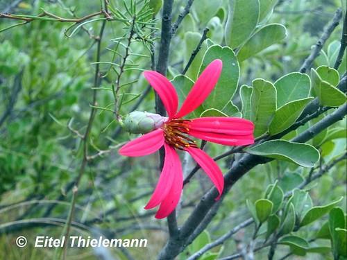 Flores de <i>Mutisia subulata</i>  trepando un litre, captada en Río Clarillo, región Metropolitana.