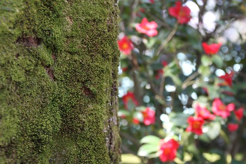 苔の巨木と椿の花