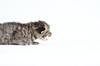 Racing Kitty (Carl's Photography) Tags: cat nikon kitten iso400 kitty f40 sb800 alienbees 85mmf14d nikkor85mmf14d strobist 1250sec sb900 d7000 43inchshootthroughumbrella 1250secatf40 nikond7000 paraboliclightmodifier gettyartistpicks nikonsg3irirpanel whitediffusioncover ab64inchsilverplm