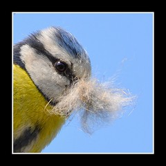 The Master of disguise...... (Levels Nature) Tags: uk blue portrait england colour bird eye nature colours tit somerset moustache disguise material bluetit nesting bridgwater bushy nestingmaterial colorphotoaward saariysqualitypictures carlsbirdclub blinkagain bestofblinkwinners