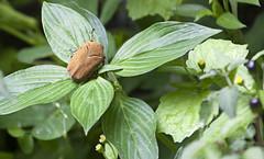 Cucarron (JuanEsOc) Tags: beetle cucarron