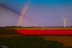 20110420-IMG_1027 (Ruben Mesu ) Tags: sky sun regenboog canon rainbow exposure tulips nederland natuur flevoland almere tulpen mesu nederlandbelicht 5dmarkii