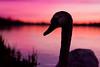 Pumpkin Time (Juvenille Swan At Twilight), Rickmansworth (flatworldsedge) Tags: sunset lake reeds swan twilight beak wb mottled rickmansworth juvenille aquadrome manualhdr