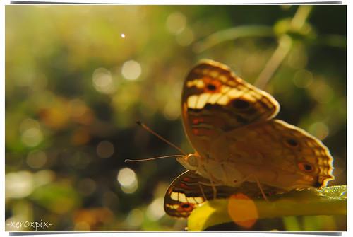 kupu-kupu pagi