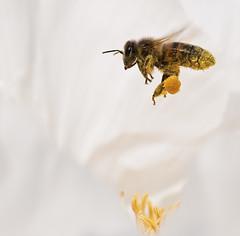Escadron Maya (dovethedove) Tags: white macro fly nikon sigma bee vol 105 pollen blanc abeille d300s