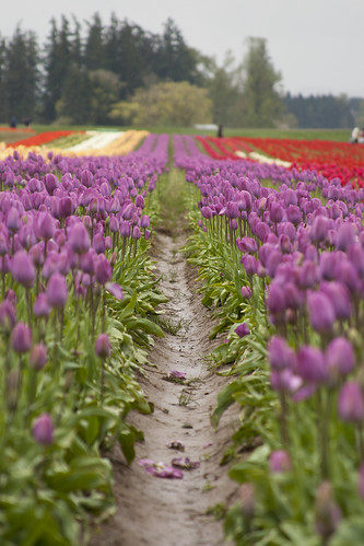 wooden shoe tulip farm 21