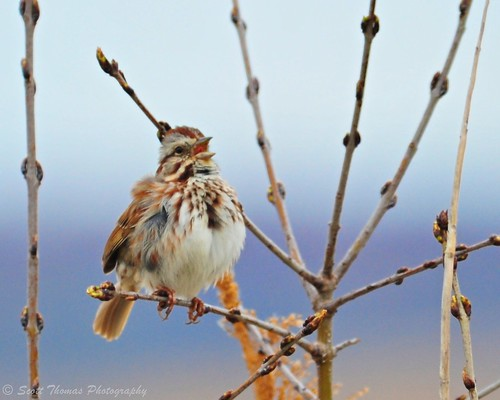 Song Sparrow (Melospiza melodia) singing at the Montezuma National Wildlife Refuge.