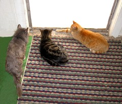 Blueboy, Paul and Amber, wanting out (Hairlover) Tags: pet cats pets public cat kitten kitty kittens kitties threeleggedcat allcatsnopeople 27yearoldcat 22yearoldcat