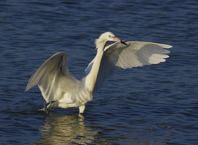 White Egret on Easter morning