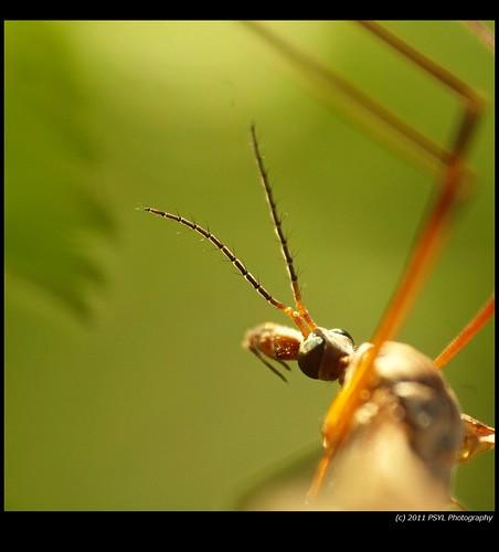 Cranefly Close-up (Order Diptera)
