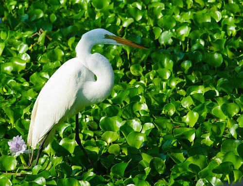 Great Egret with Water Hyacinth