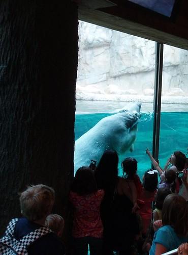 Polar Bear - Memphis Zoo