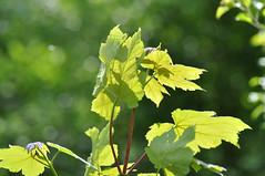 May Day (Katy Wrathall) Tags: england woodland spring may herefordshire 2011 beanpoleday moretonwood