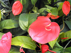 Flamingo Flower by Keith Roper, on Flickr