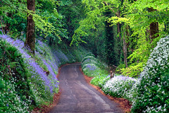 Driving into the bluebell wood (rosyrosie2009) Tags: uk trees england beautiful bluebells woodland landscape photography countryside spring woods flickr cornwall photos hdr looe westcountry wildgarlic hyacinthoides hyacinthoidesnonscripta devonandcornwall d5000 rosiesphotos tamronaf70300mmf456dildmacro tamron70300mmlens nikond5000 duloewoods rosiespooner rosyrosie2009 rosemaryspooner sandplacewoods rosiespoonerphotography