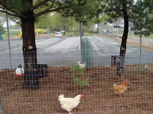 Chicken Territory