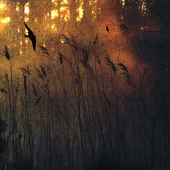 Silent Running (jumpinjimmyjava) Tags: mist nature birds sunrise dawn pond swamp swallow pars avian