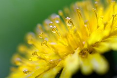 Dandelion (Erik Moberg) Tags: macro dandelion dew