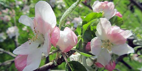 Zinnia elegans Envy to Cut Seeds Flowers Original from Ukraine 0.5 Gram