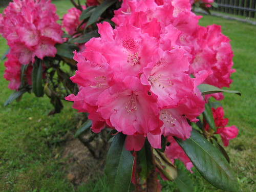 Rhododendron (Photo No. 2) / © Marco PETER