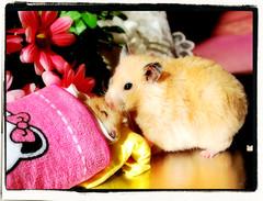 Farewell Kiss... ~ Migotka (pyza*) Tags: pet cute love animal angel rodent you sweet critter adorable hamster forever xxx miss koko hammie chomik sianka kokosanka