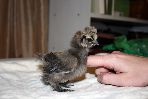 Amon, a tiny grey-brown baby chicken who still has all his baby fluff, stands in profile to the camera.  He has wing feathers and a teeny poof of golden down on top of his head where his crest will grow in, and few feathers on his legs.