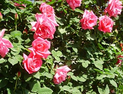 Pink roses  (Zulina ) Tags: pink flowers sun color verde green colors leaves rose foglie colore rosa fiori sole colori