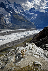 Mountain Goat looking for salt  in the Gornergrat (3130m) Zermat  /Switzerland no. 1976 (Izakigur) Tags: italy alps schweiz switzerland nikon europa europe flickr suisse suiza swiss feel gornergrat zermatt monterosa matterhorn d200 helvetia svizzera wallis ch valais dieschweiz suizo myswitzerland nikond200 rotenboden izakigur cantonduvalais suisia mygearandme izakigur2010 izakiguralps izakigurzermatt