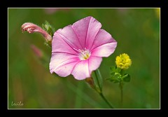 Campanita (levilo) Tags: macro pentax flor campanilla vegetal campanita k20d levilo