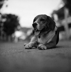 .yeah ,i'm still alivE (27147) Tags: street dog 120 6x6 film beagle tongue rollei zeiss canon square t thailand scanner retro hasselblad carl thai sit medium format 100 f28 80mm 500cm chonburi 8800f casalunar ldlportraits