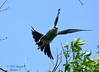 Mississippi Kite Takeoff - Bayou Courtableau, Louisiana (Image Hunter 1) Tags: blue sky tree nature leaves birds flying wings louisiana branch branches flight bayou swamp marsh takeoff wingspan mississippikite wingspread t2i birdslouisiana bayoucourtableau canont2i