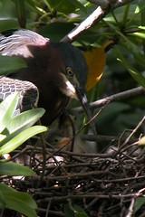 Greenback Heron-2