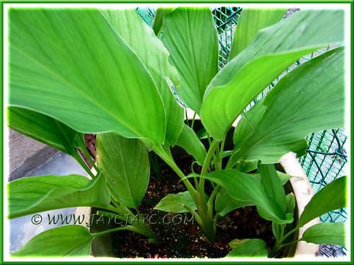 Curcuma longa (Turmeric or Kunyit in Malay) in our kitchen garden, May 29 2011