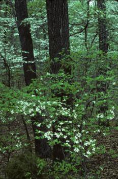 Dogwoods and spring along NT